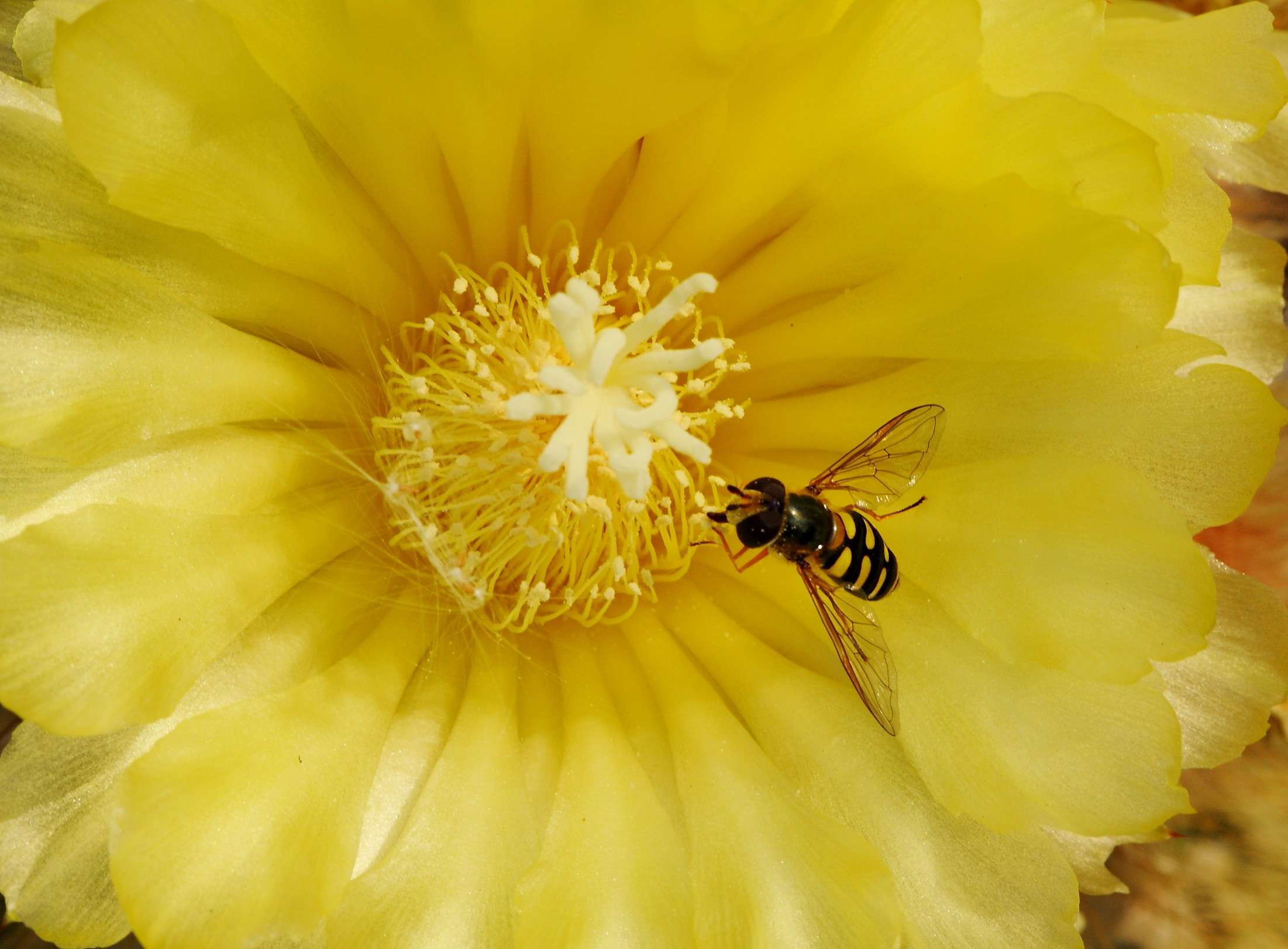 Notocactus leninghausii flower with hover fly 12 August 2015.JPG