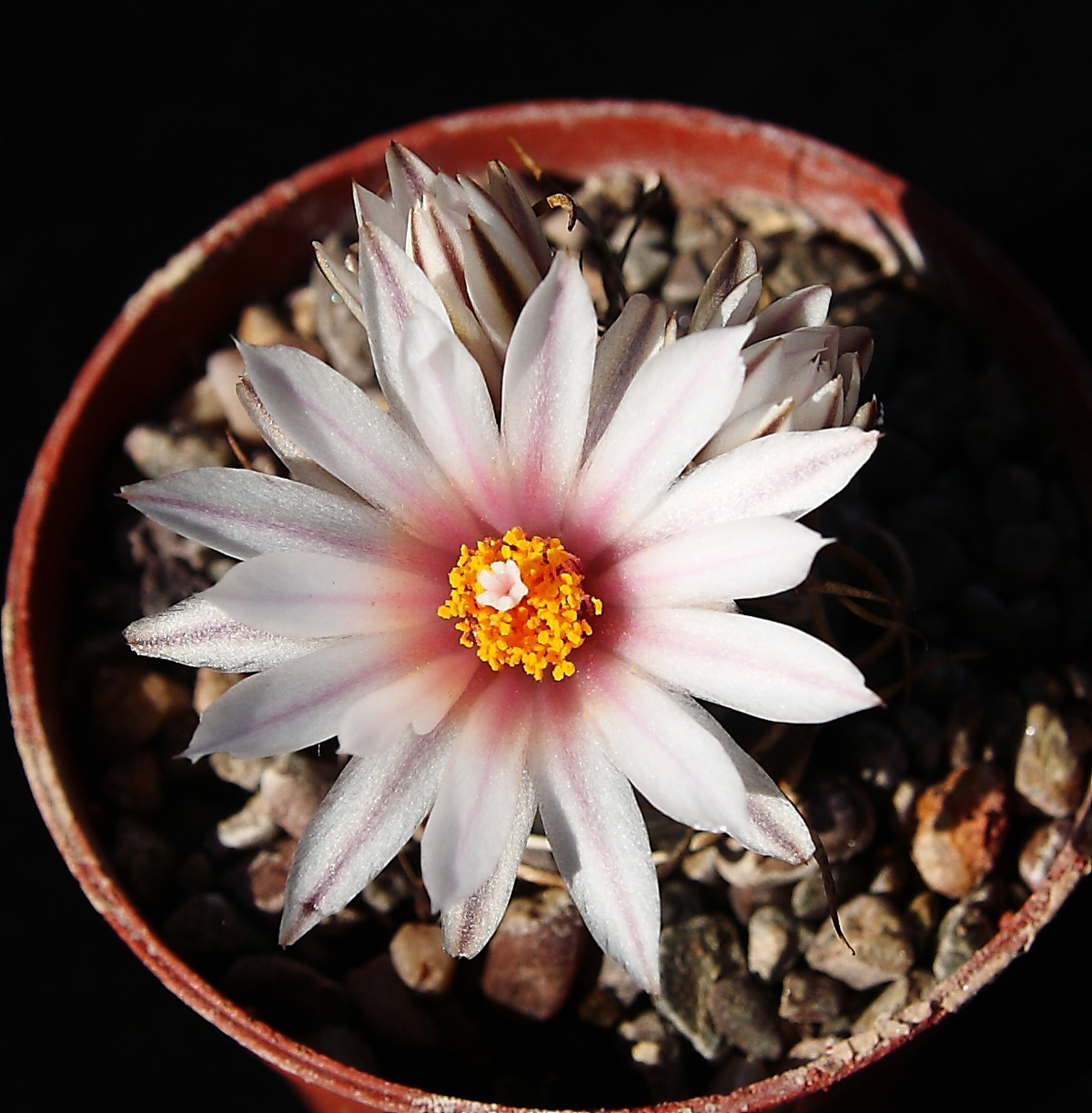 Turbinicarpus frailensis flower & buds 18 April 2015 (2).JPG