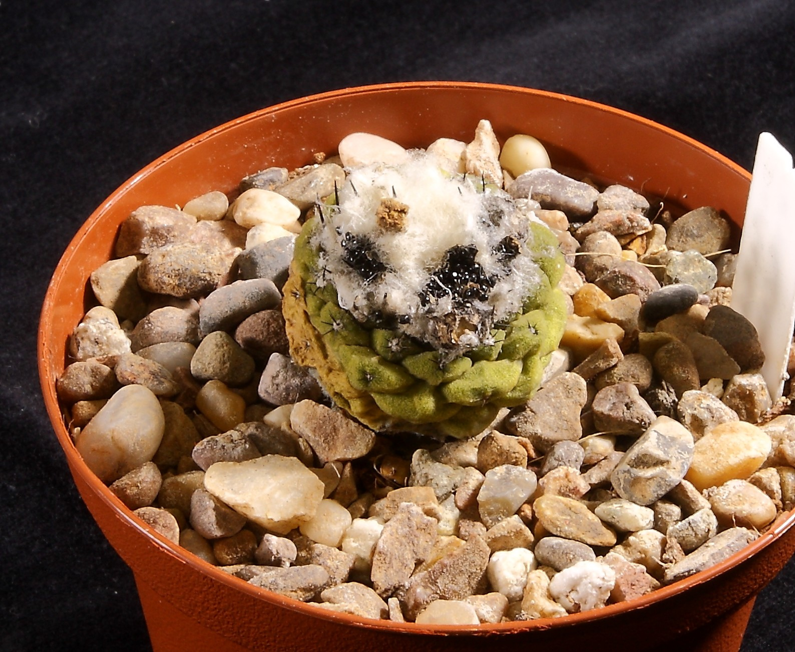 Copiapoa hypogaea 15 Jan 2017.JPG