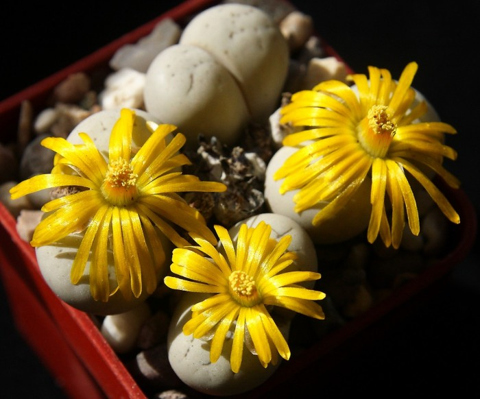 Lithops ruschiorum var. lineata flowers 14 Sept 2017 (5).JPG