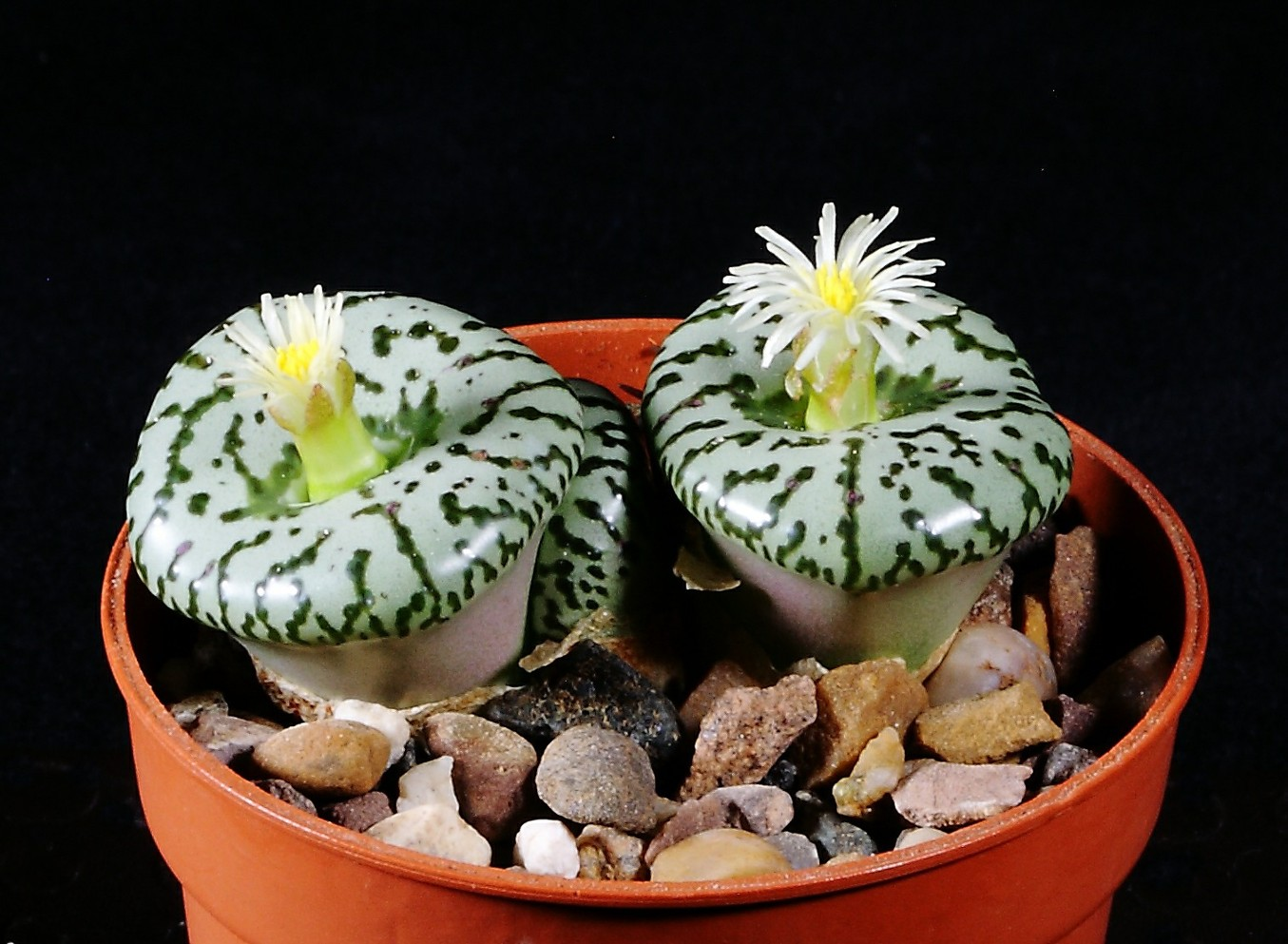 Conophytum obcordellum flowers 6 October 2017.JPG
