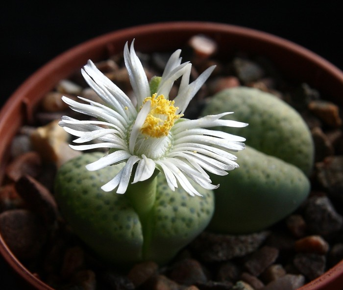 Lithops fulviceps var. fulviceps 'Aurea' flower 14 October 2017 (1).JPG