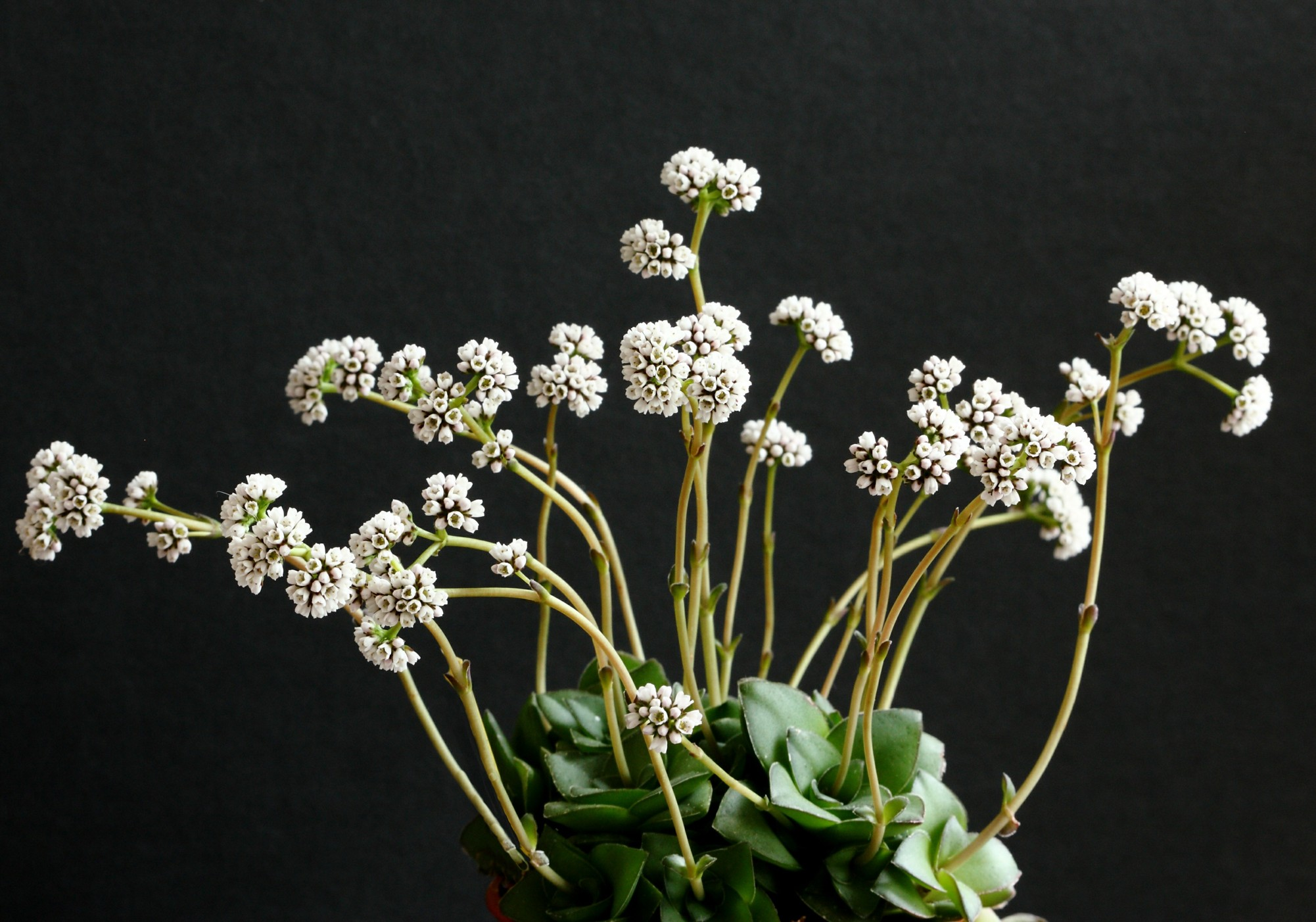 Crassula gillii in flower 29 March 2013.JPG