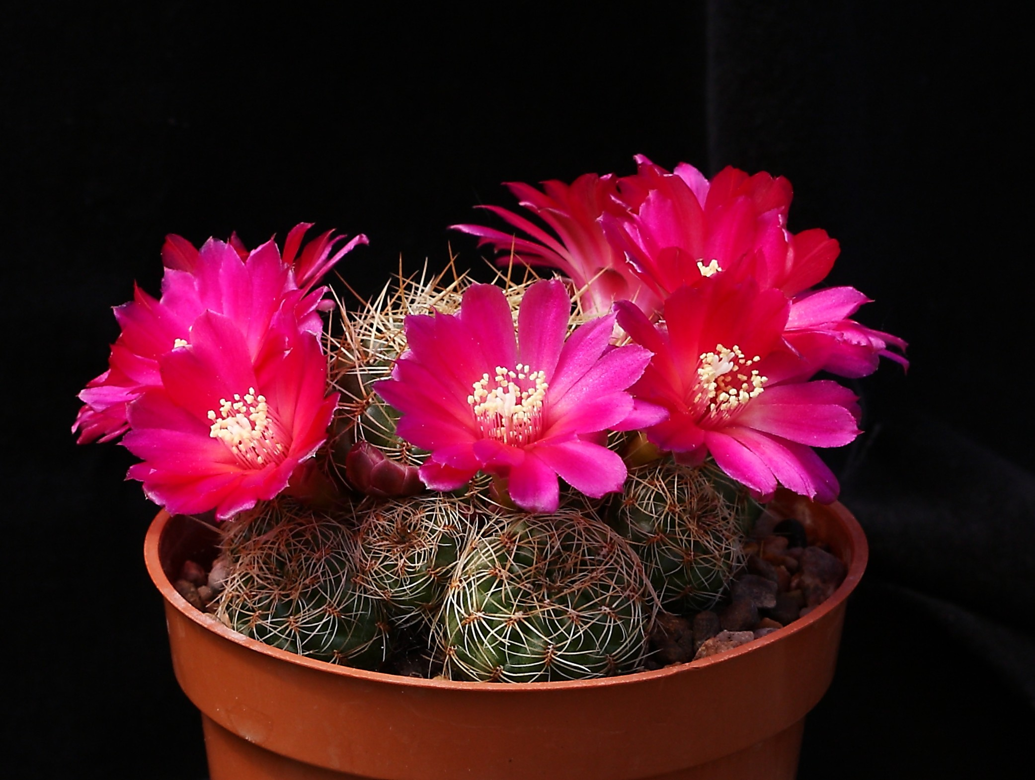 Sulcorebutia canigueralii flowers 17 May 2014.JPG