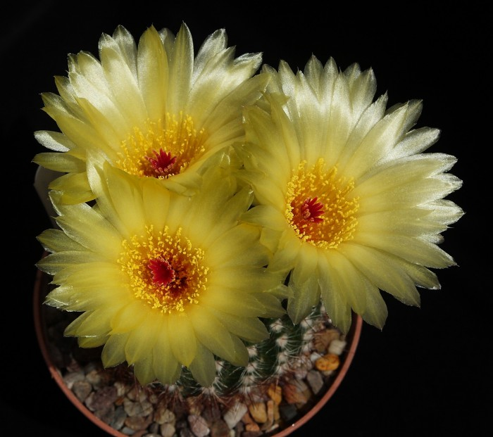 Notocactus rauschii flowers 9 June 2018.JPG