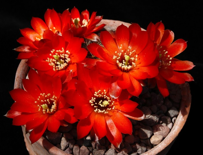 Rebutia steinmanii flowers 29 May 2013.JPG