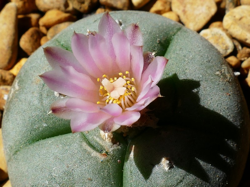 lophophora_williamsii[2017_001a].jpg