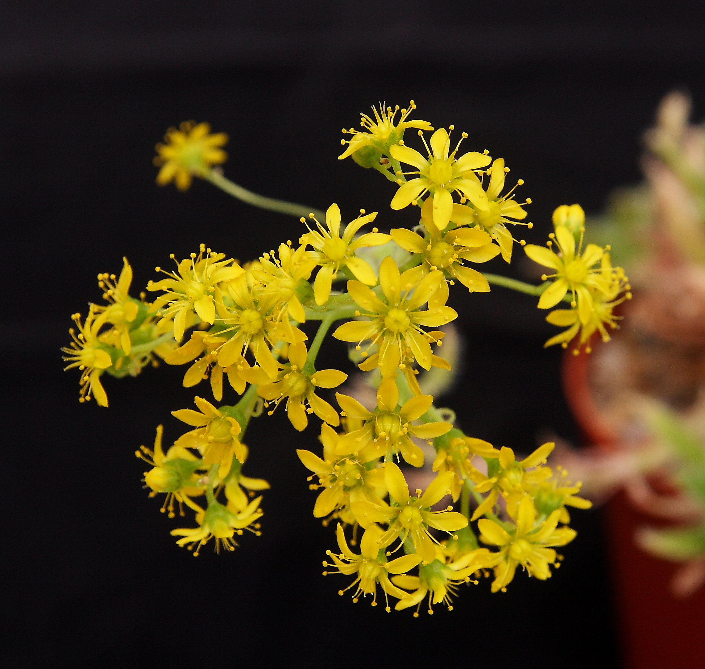Aeonium simsii flowers 7 May 2018 (2).JPG