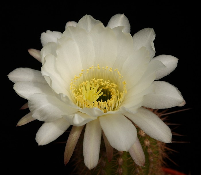 Trichocereus spachianus flower (1) 11 June 2015.JPG