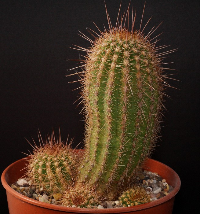Trichocereus spachianus 1 January 2018.JPG