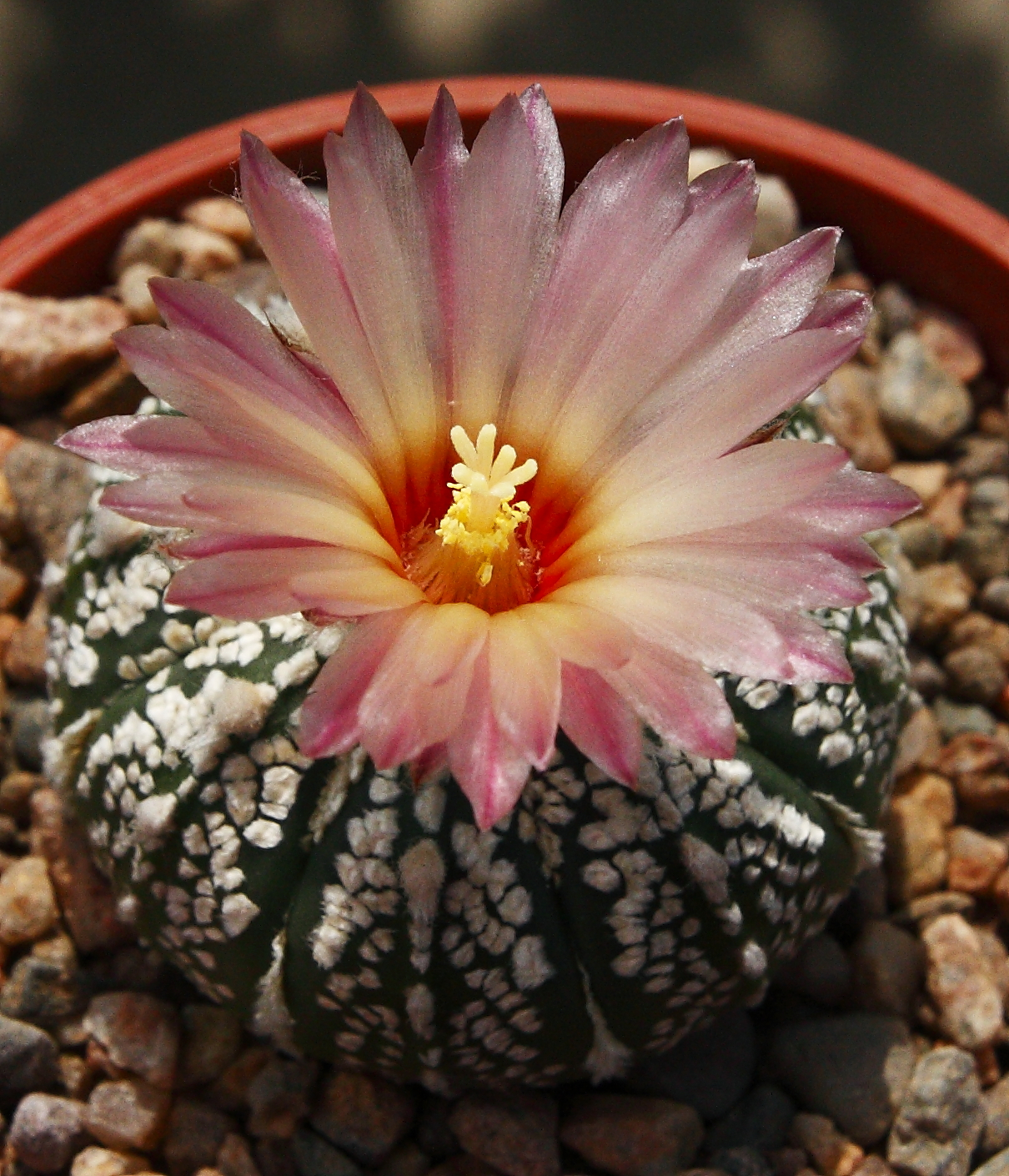 Astrophytum asterias super kabuto flower 4 July 2013 (6).JPG