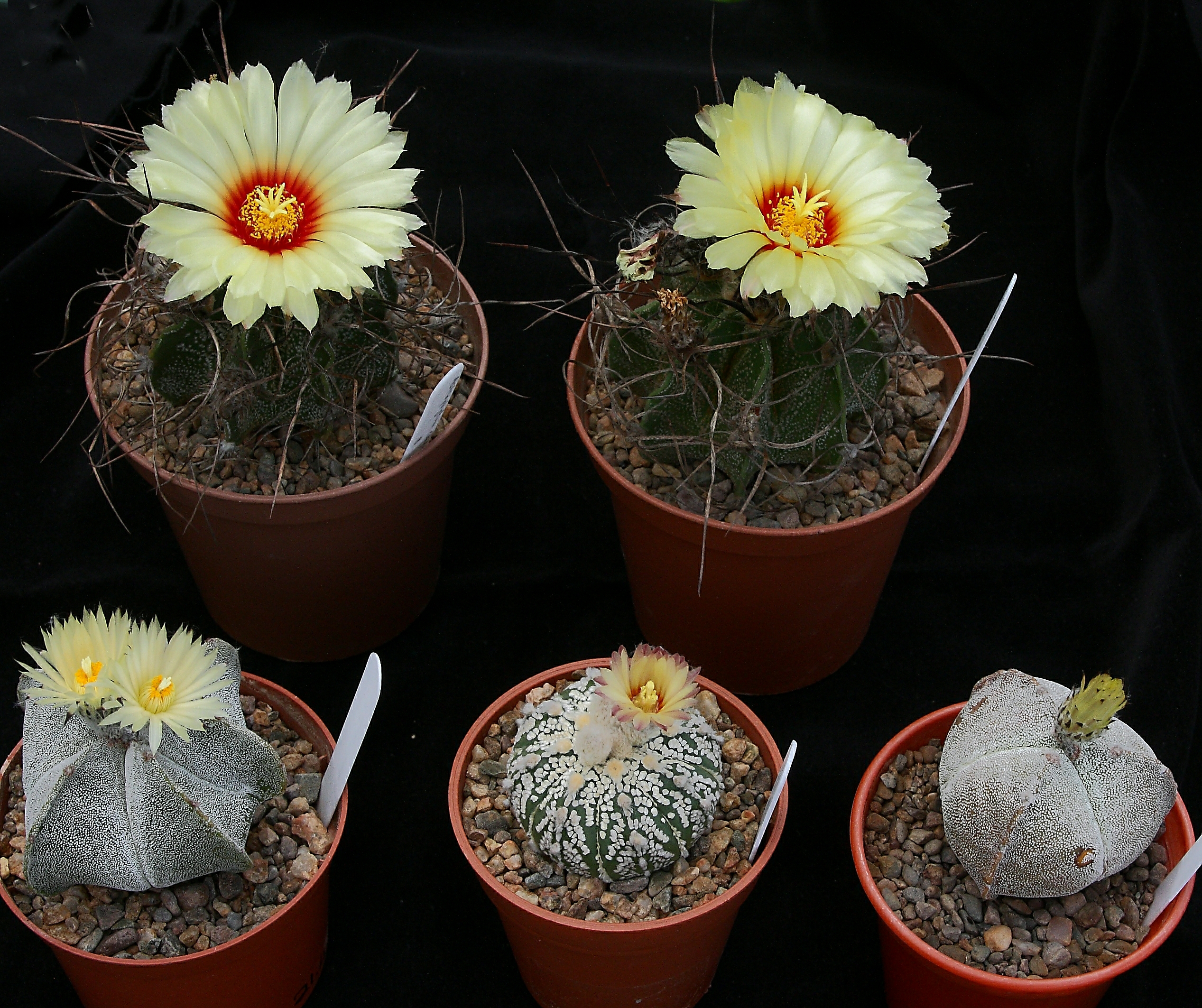 Astrophytum flowers 20 July 2014 (2).JPG